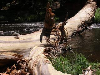 Giant gum tree falls in Warburton - Sunday Jan 13, 2013