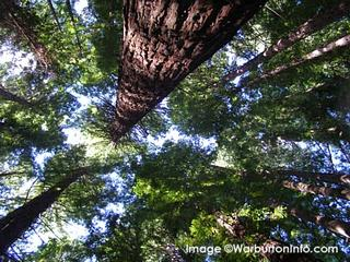 Canopy of the Redwood Forrest
