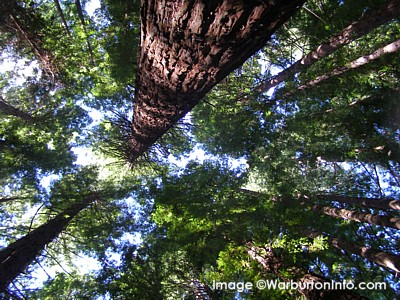 Canopy of the Redwood Forest