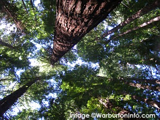 Redwood Forest Warburton